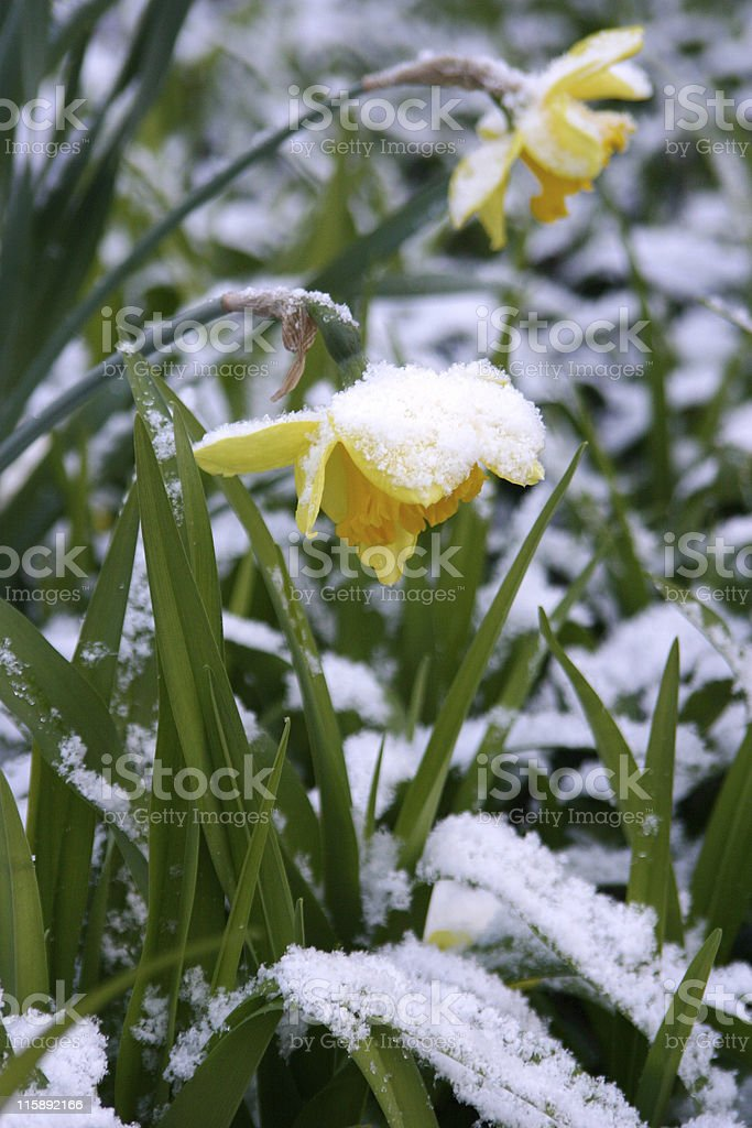 Snowy Spring stock photo