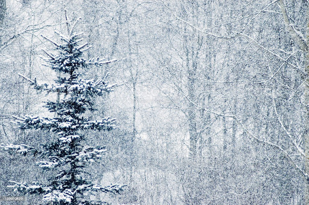 Snowy spruce tree in falling snow stock photo