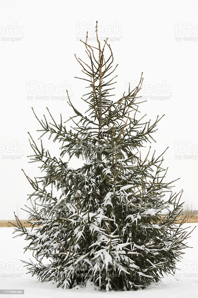 Snowy Spruce Tree stock photo