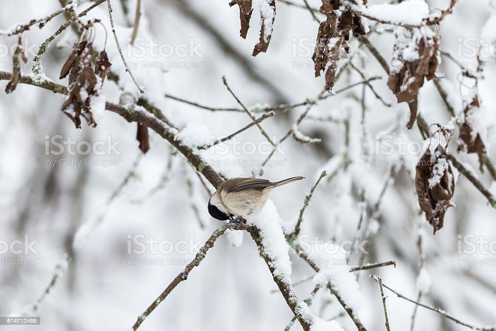 Snowy tree branches with a Marsh tit stock photo