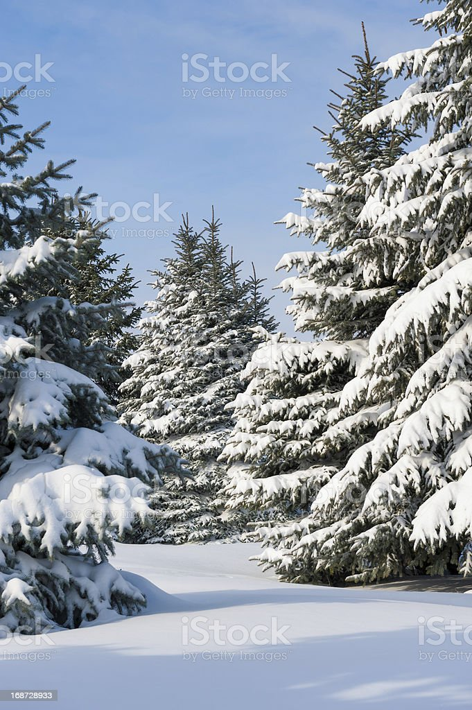Snowy trees at day royalty-free stock photo
