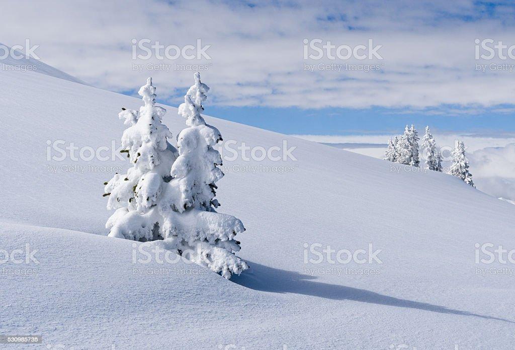 Snowy Trees at Treeline Colorado Backcountry stock photo