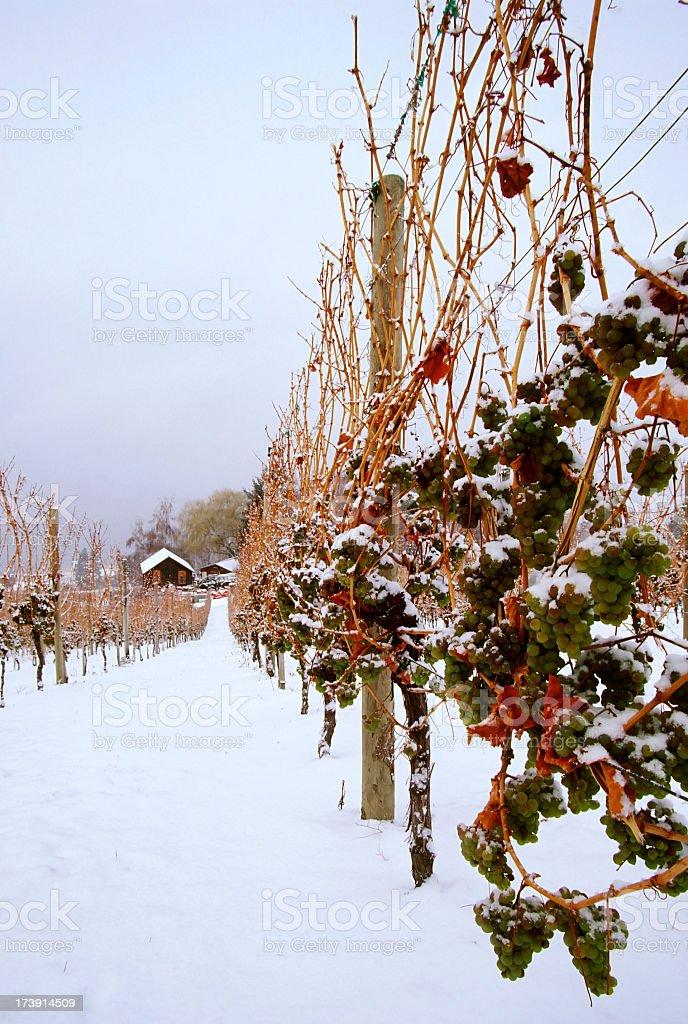 Snowy vineyard in the ice wine region of Okanagan valley stock photo