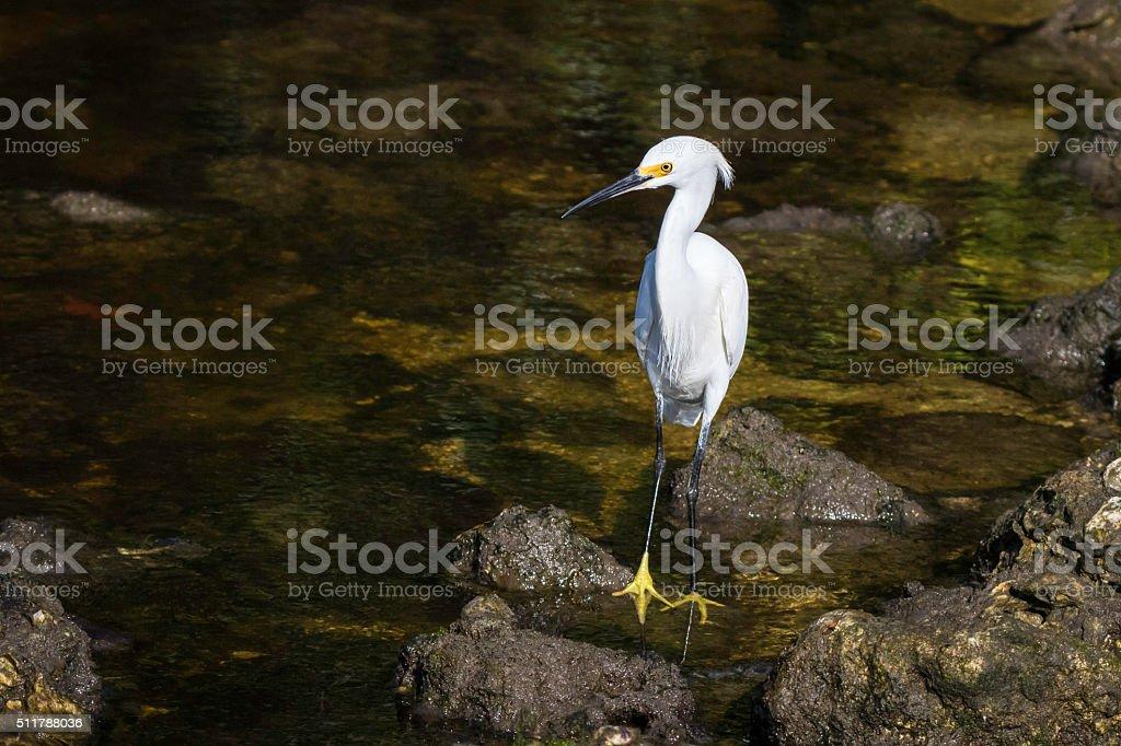 Snowy White Egret stock photo