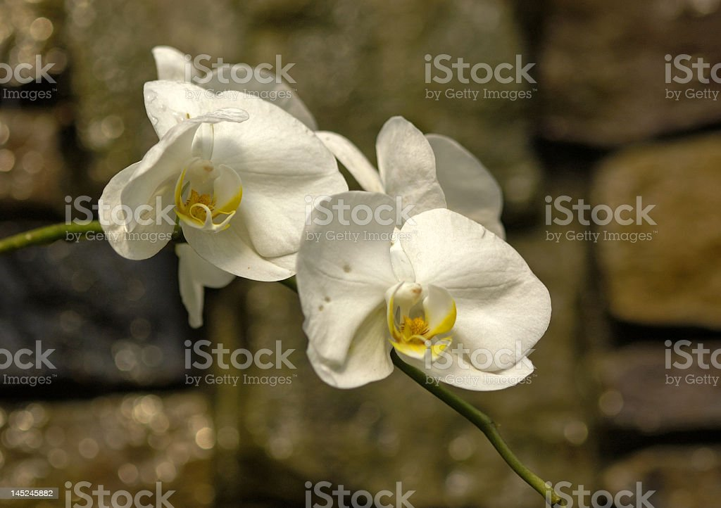 Snowy White Orchids royalty-free stock photo