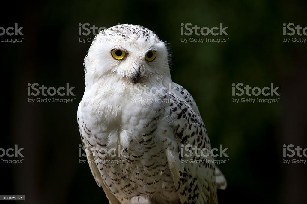snowy white owl stock photo