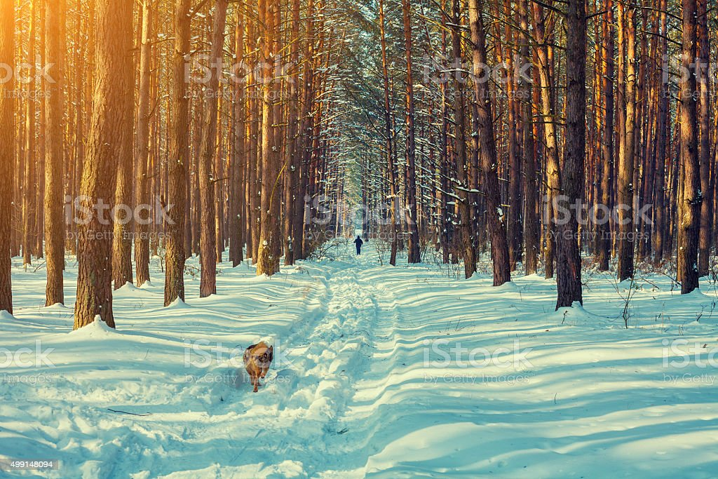 Snowy winter pine forest, skier and running dog stock photo