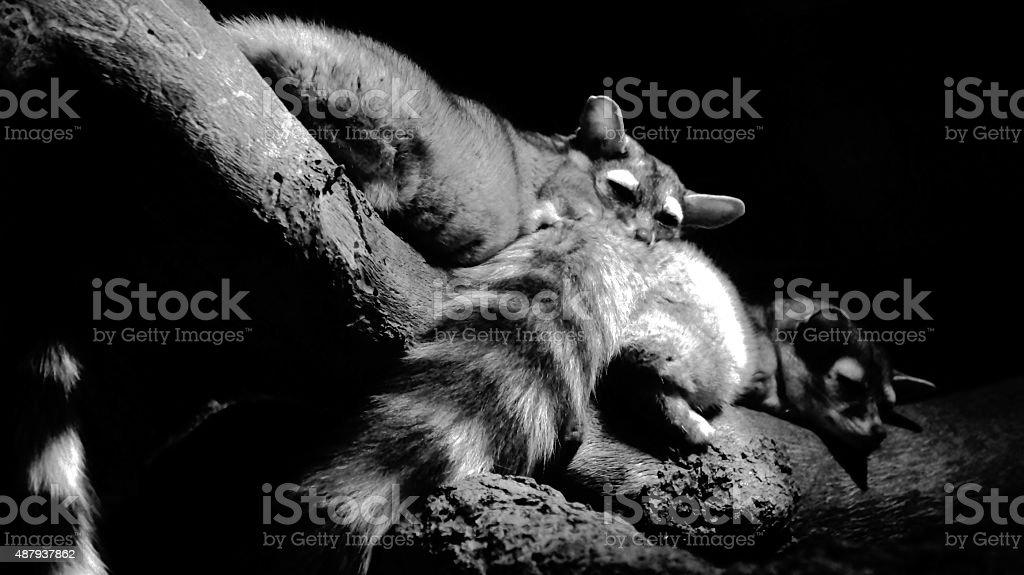Snuggling Ringtails (Bassariscus astutus) stock photo