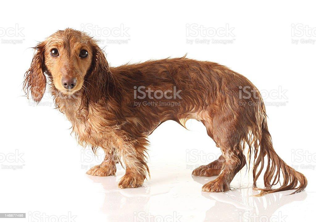Soaked puppy royalty-free stock photo