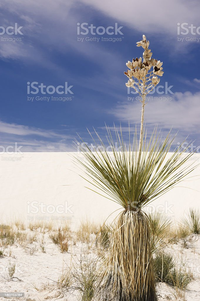 soap tree yucca royalty-free stock photo