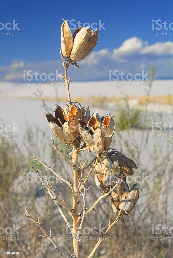 Soaptree Yuca plant at White Sand Dunes National Park stock photo