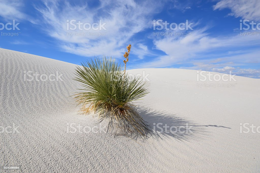 Soaptree yucca (Yucca elata) at White Sands National Monument, New Mexico. stock photo