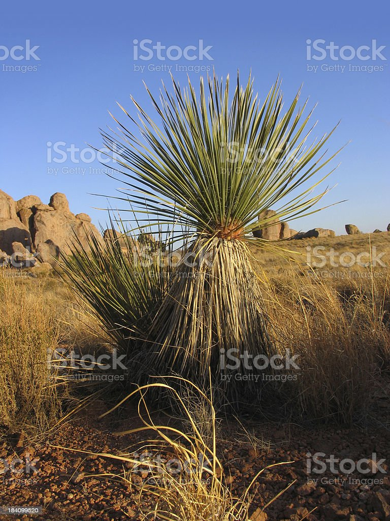 Soaptree Yucca in the Desert stock photo