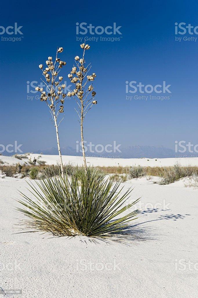 Soaptree yucca royalty-free stock photo