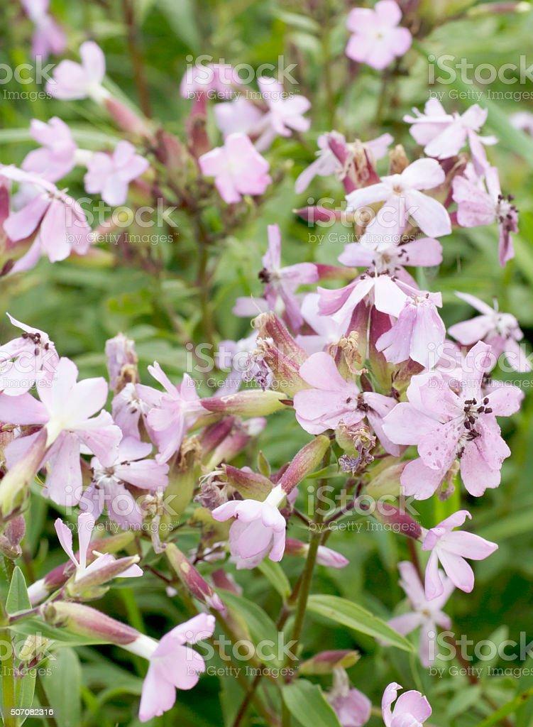Soapwort (Saponaria officinalis) stock photo