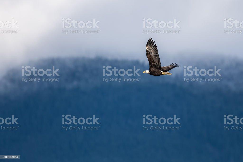Soaring Bald Eagle near Harrison British Columbia stock photo