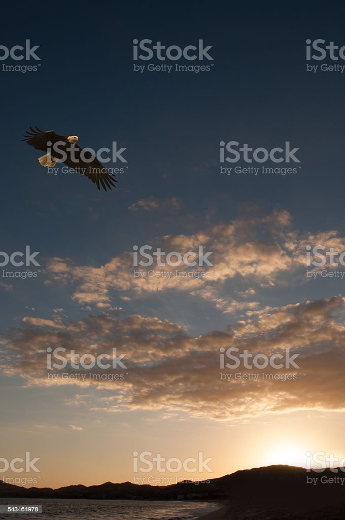 Soaring Bald Eagle over water at sunset stock photo
