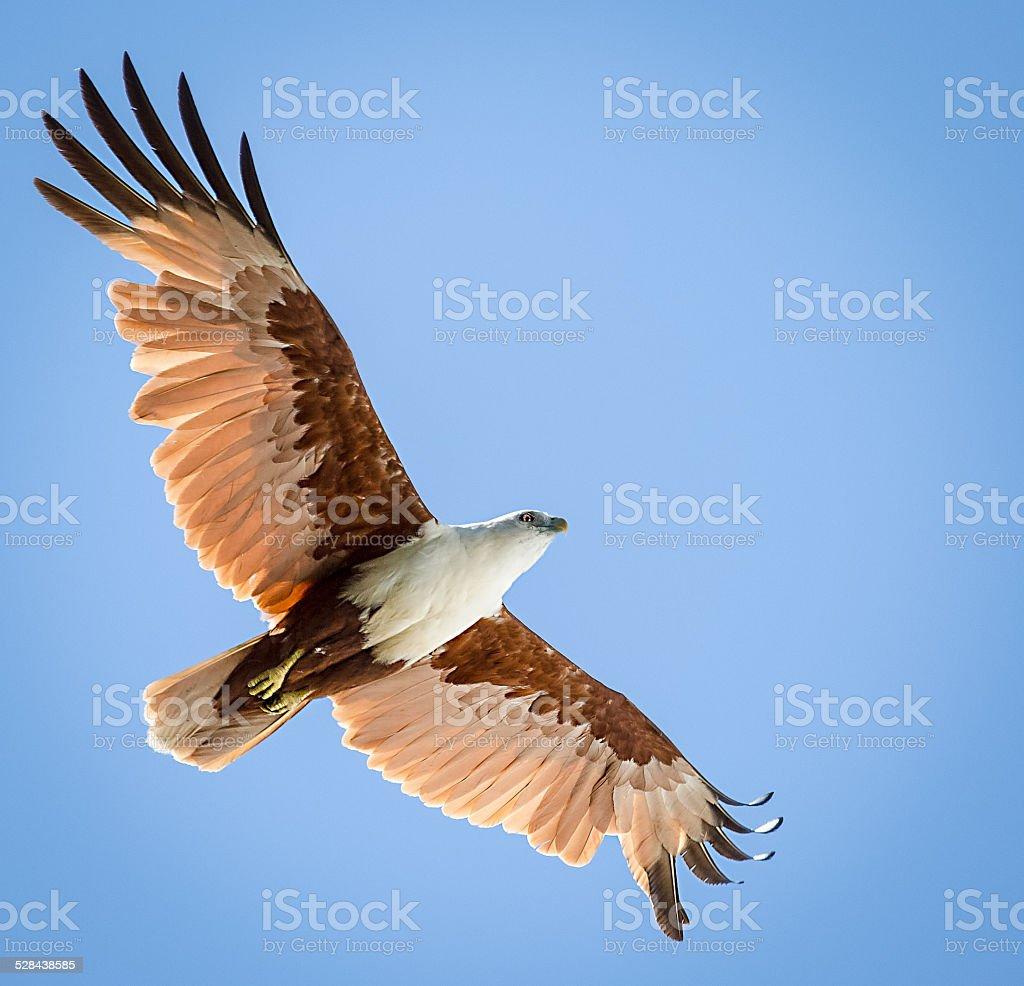 Soaring Bird stock photo