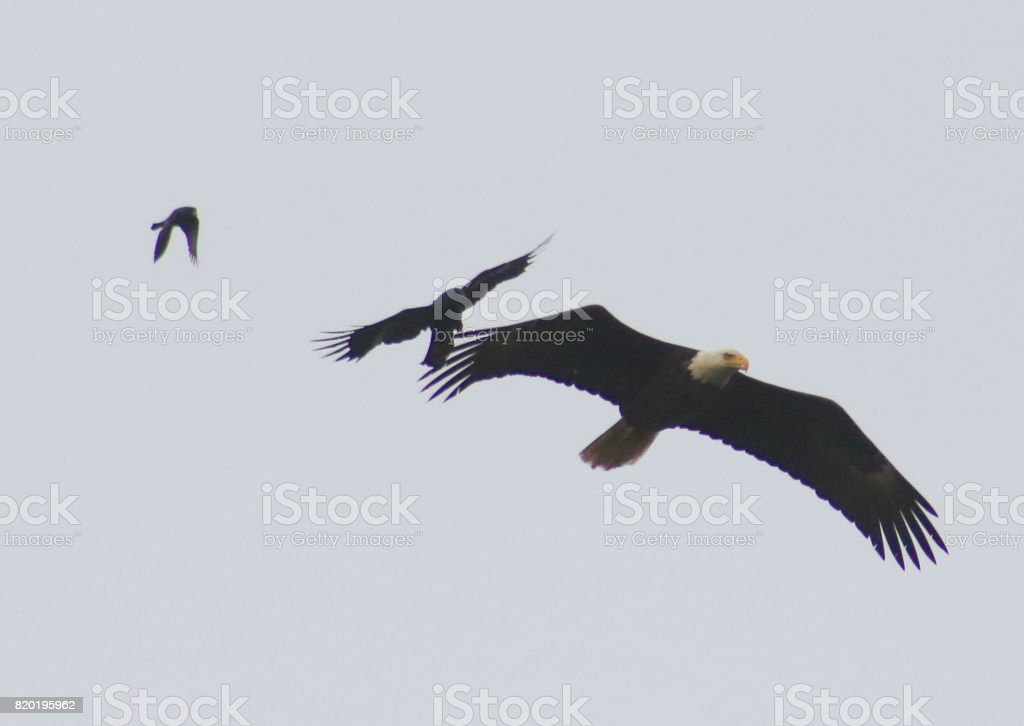 Soaring Eagle with birds challanging stock photo