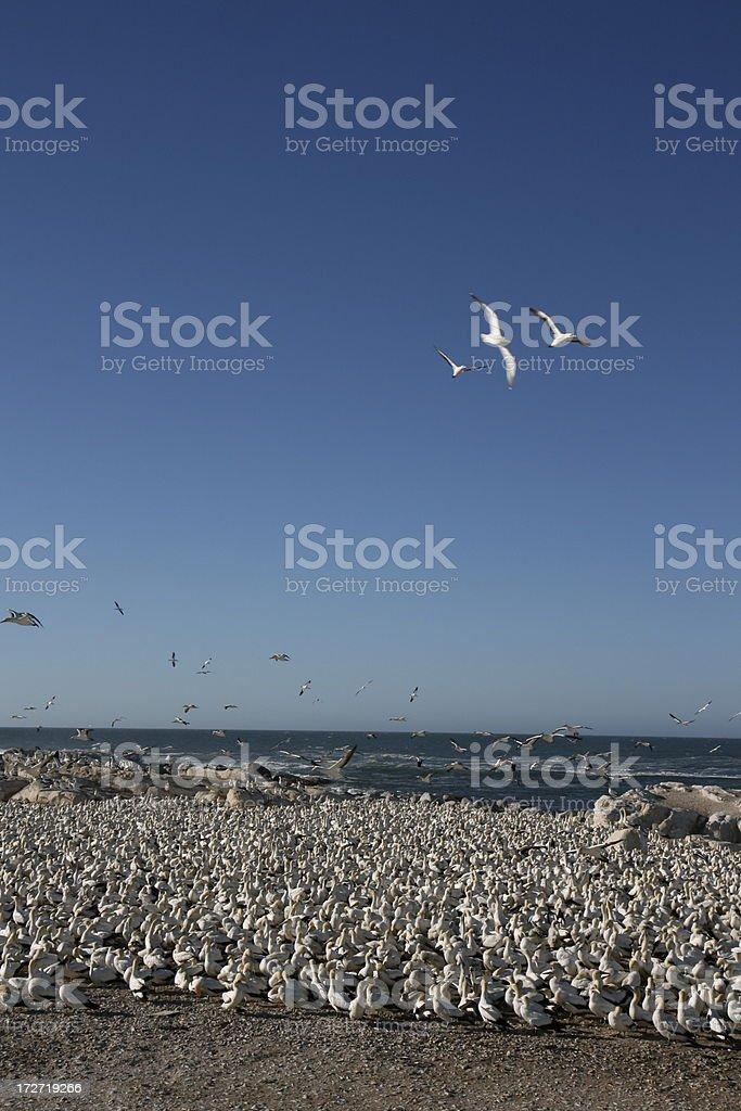 soaring gannets stock photo