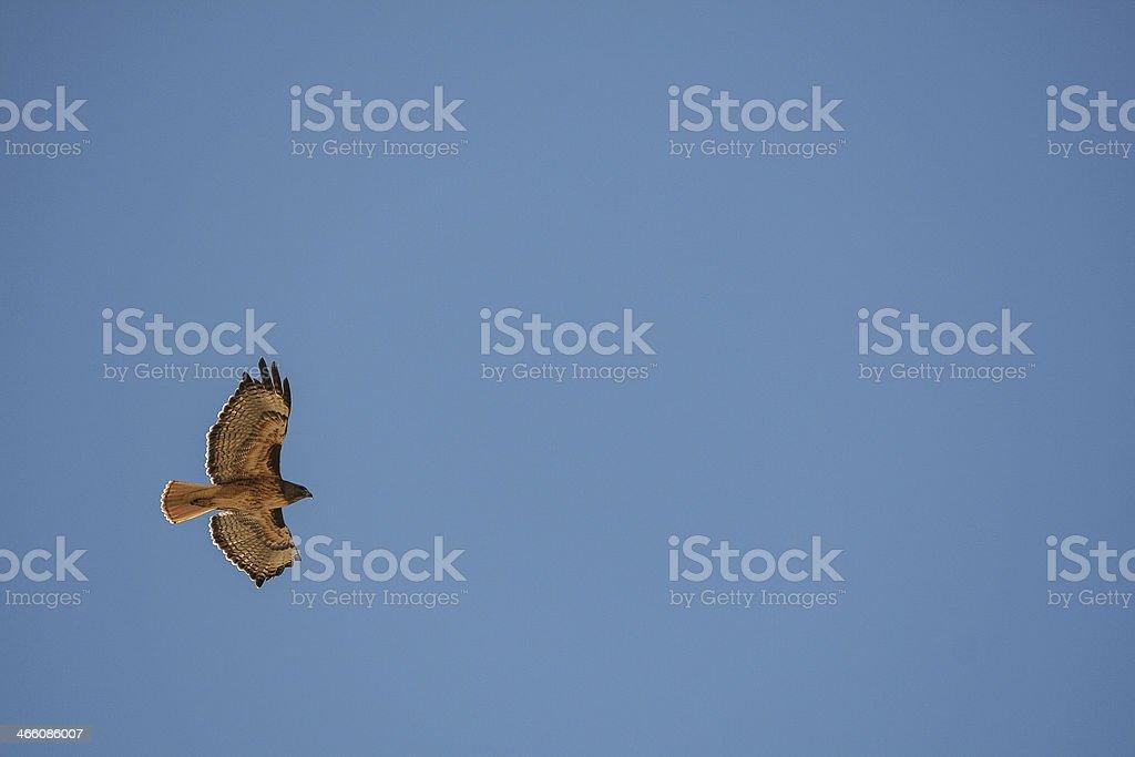 Soaring Hawk stock photo