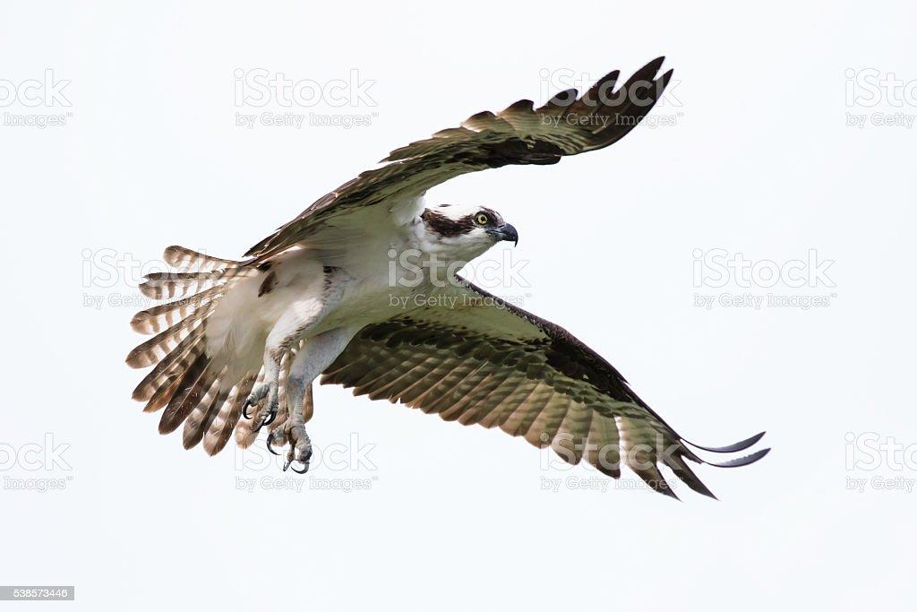 Soaring Osprey stock photo