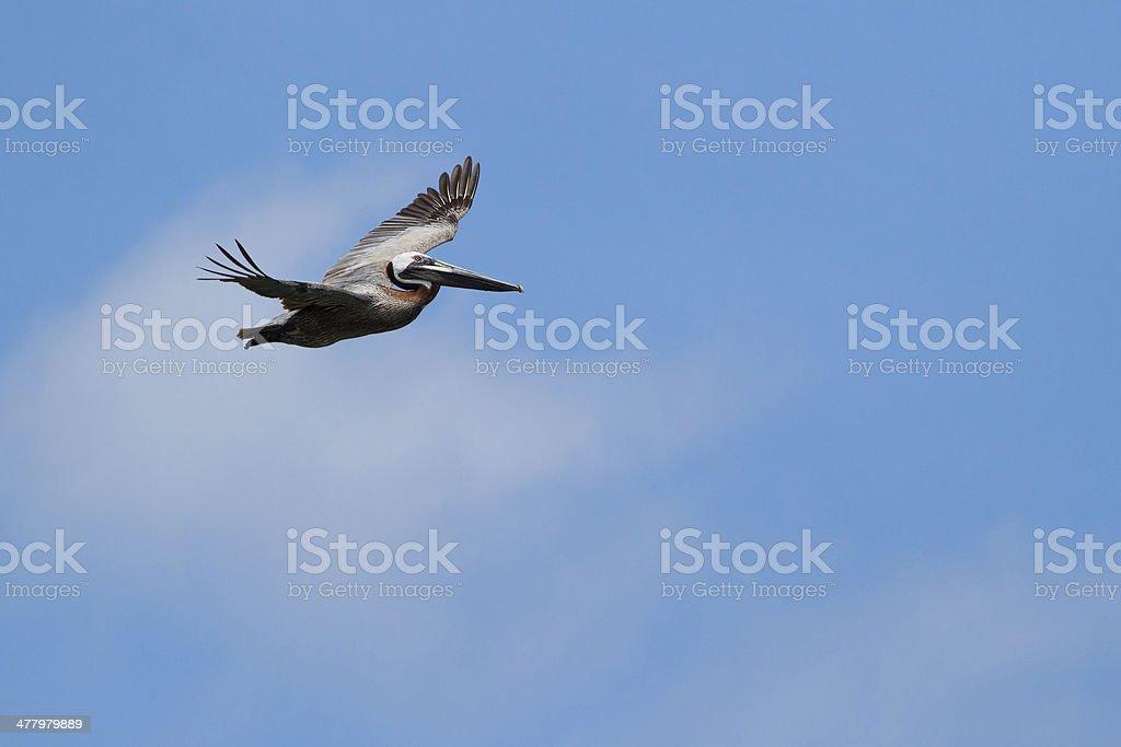 Alti Pellicano con cielo aperto foto stock royalty-free