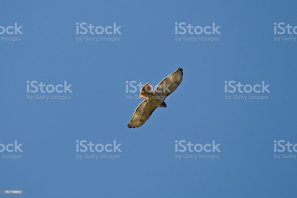 Soaring Red-tailed Hawk (Buteo jamaicensis) stock photo