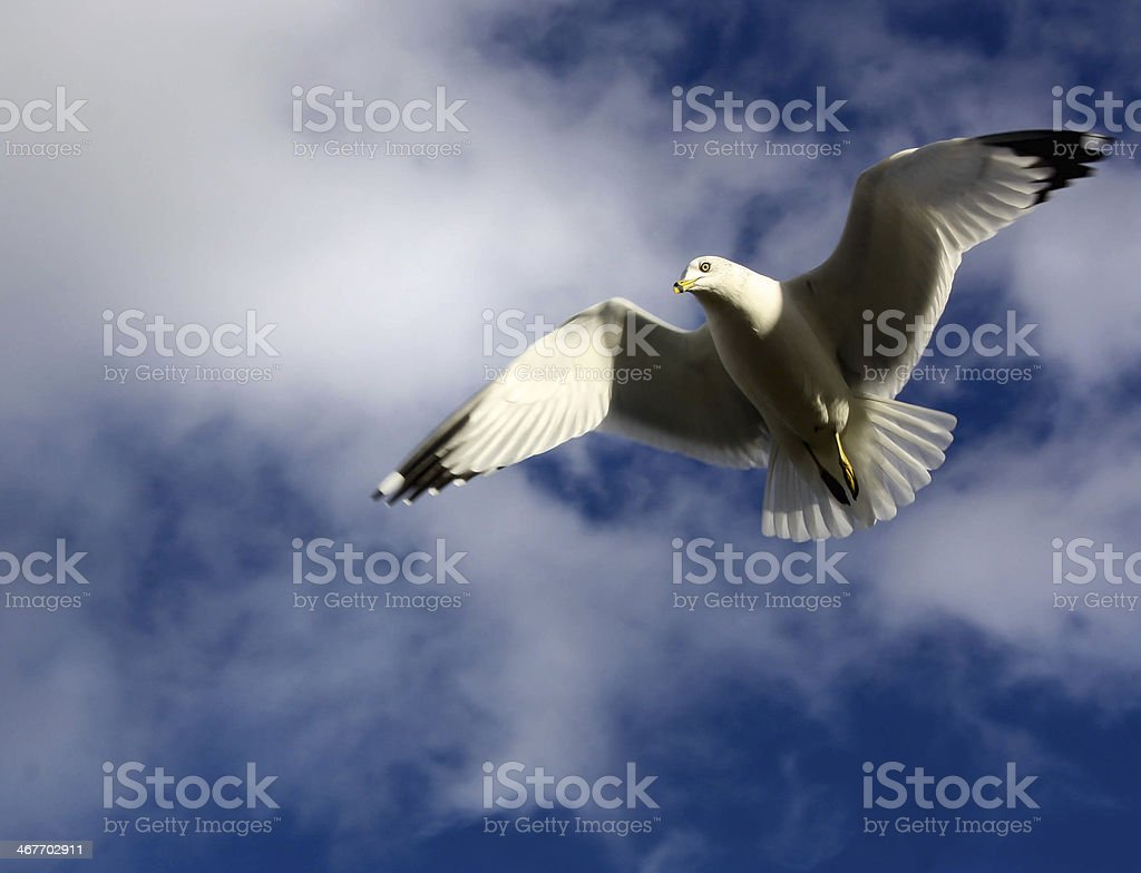 Soaring seagull royalty-free stock photo