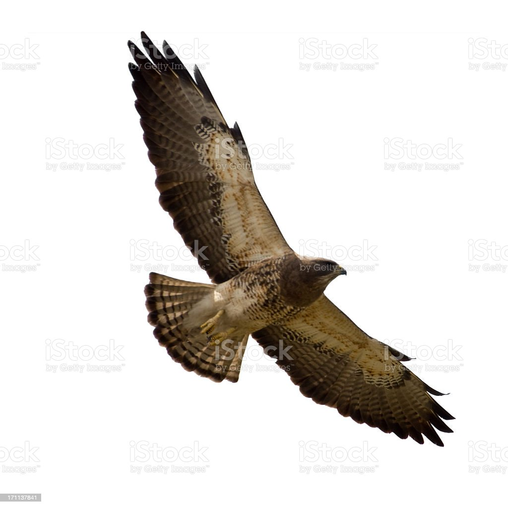 Soaring Swainson's Hawk Isolated on White stock photo