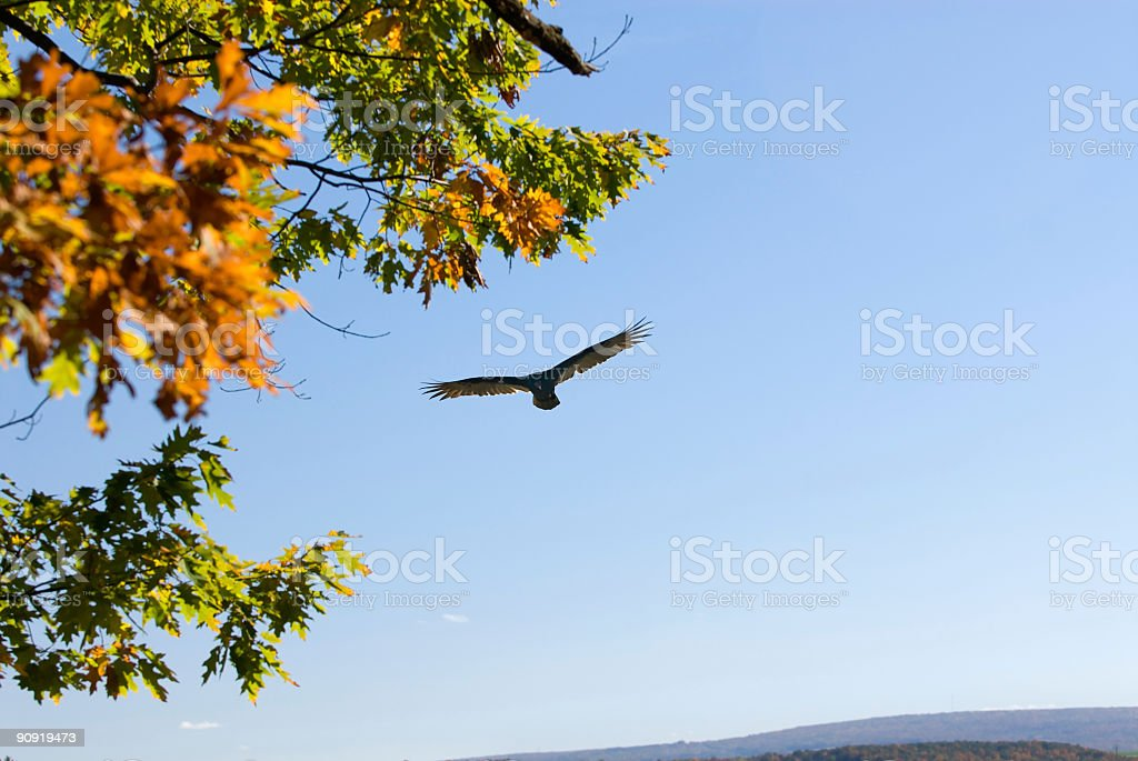 Soaring Turkey Vulture stock photo