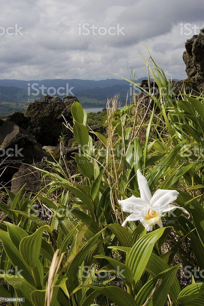 Sobralia Orchid stock photo