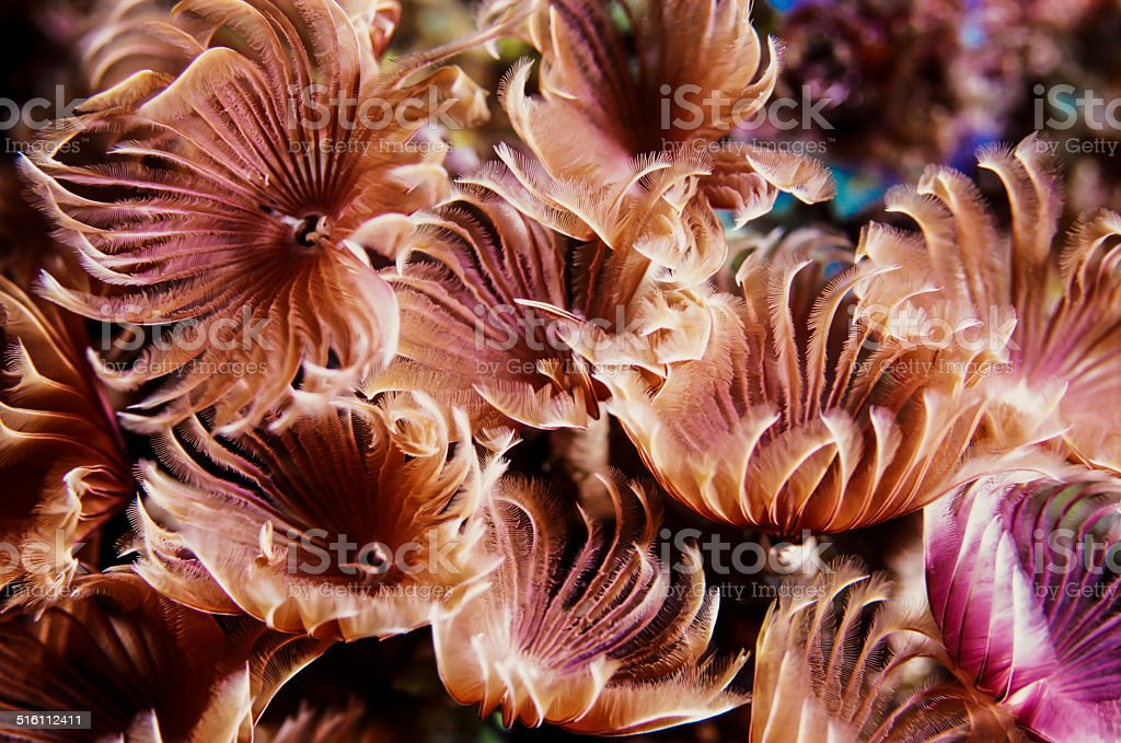 Social Feather-Duster Worm stock photo