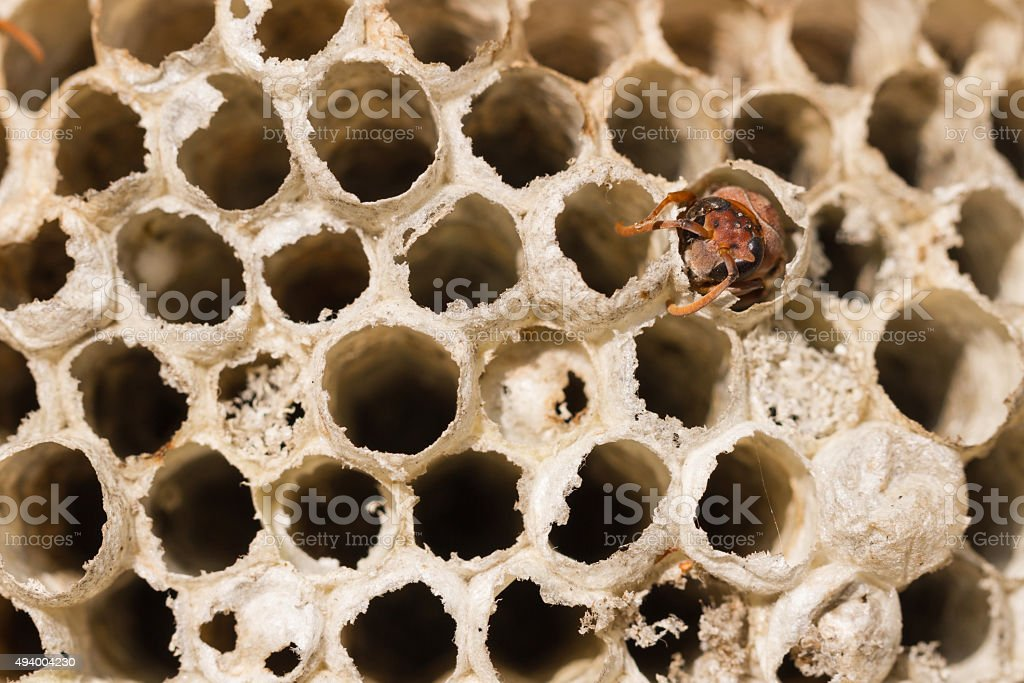 Social wasps constructing a paper nest royalty-free stock photo