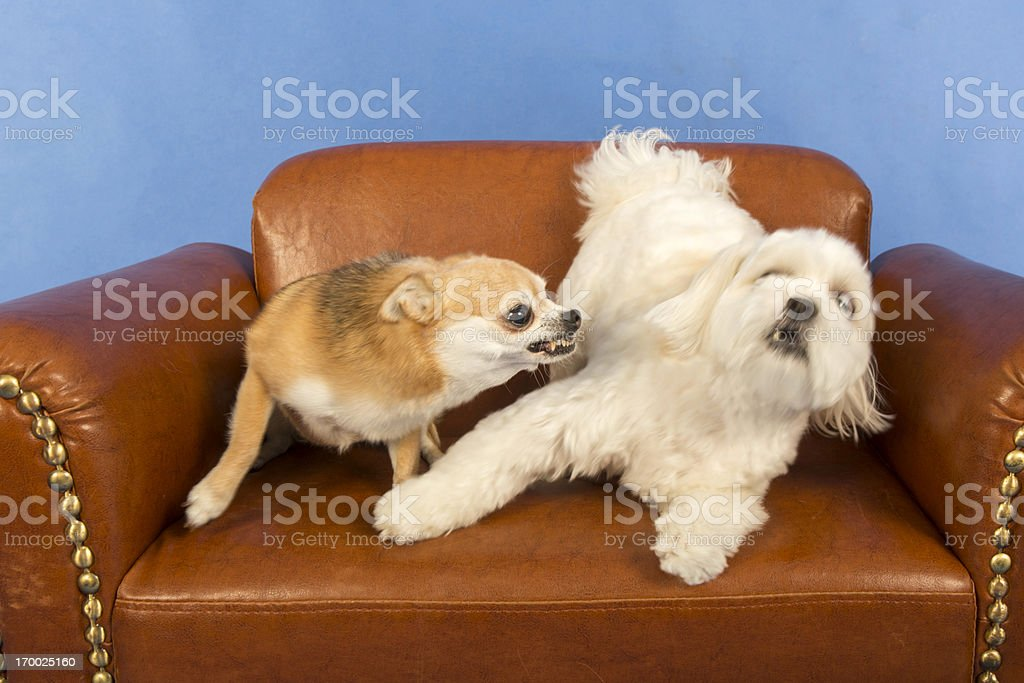 Socializing Adult Dogs royalty-free stock photo