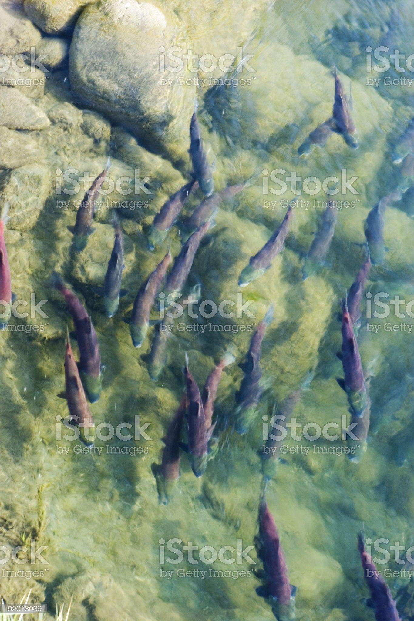 Sockeye salmon at spawning grownd royalty-free stock photo