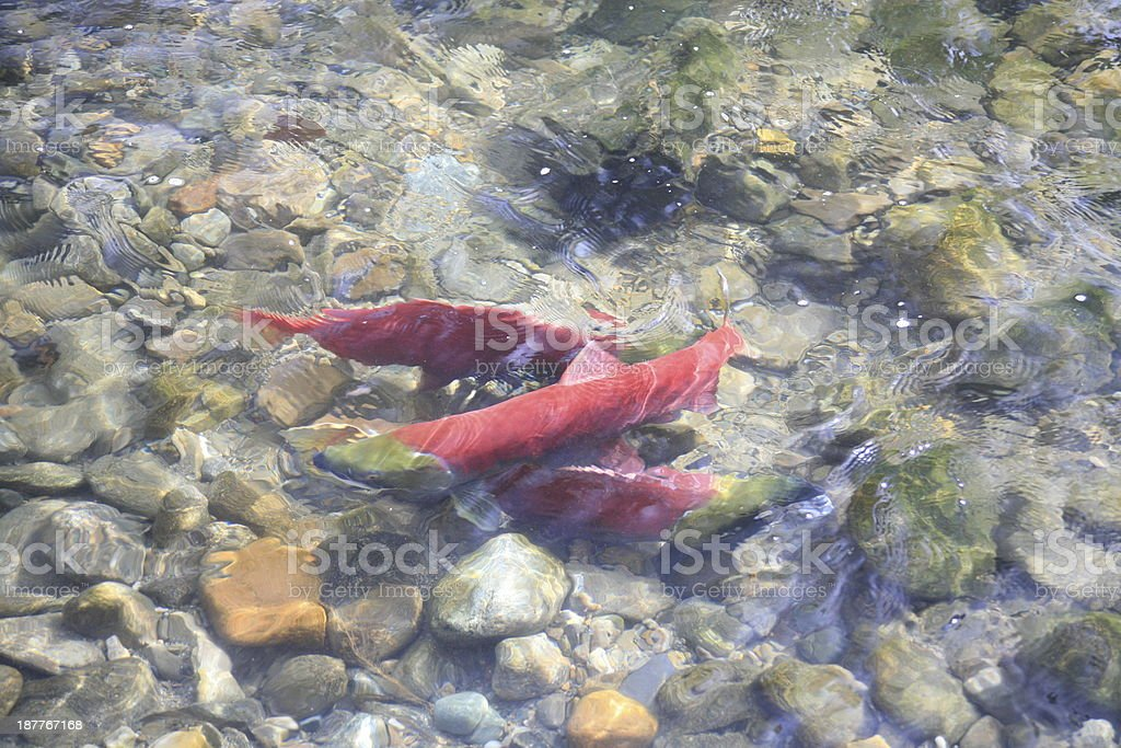 Sockeye Salmon in Adams River, British Columbia, Canada. royalty-free stock photo