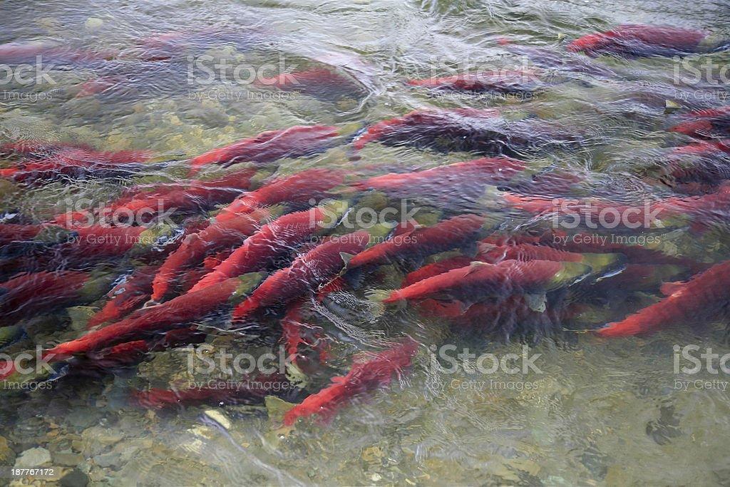 Sockeye Salmon in Adams River, British Columbia, Canada. royalty-free stock photo