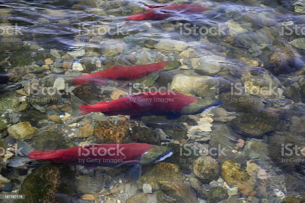 Sockeye Salmon in Adams River, British Columbia, Canada. stock photo