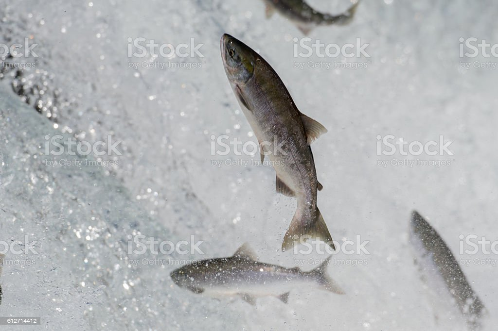 Sockeye salmon jumping stock photo