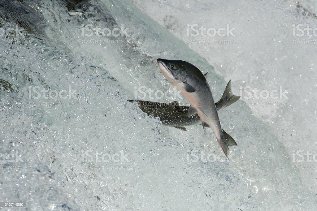 Sockeye salmon jumping stock photo
