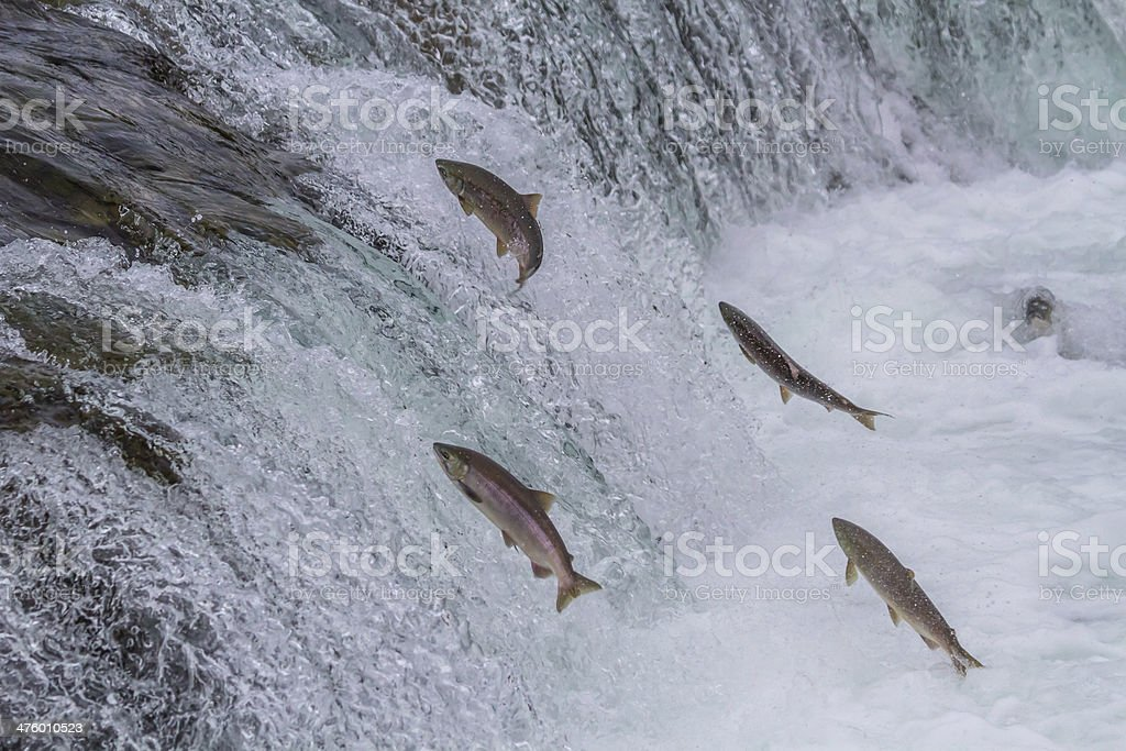 Sockeye Salmon Jumping Up Falls royalty-free stock photo