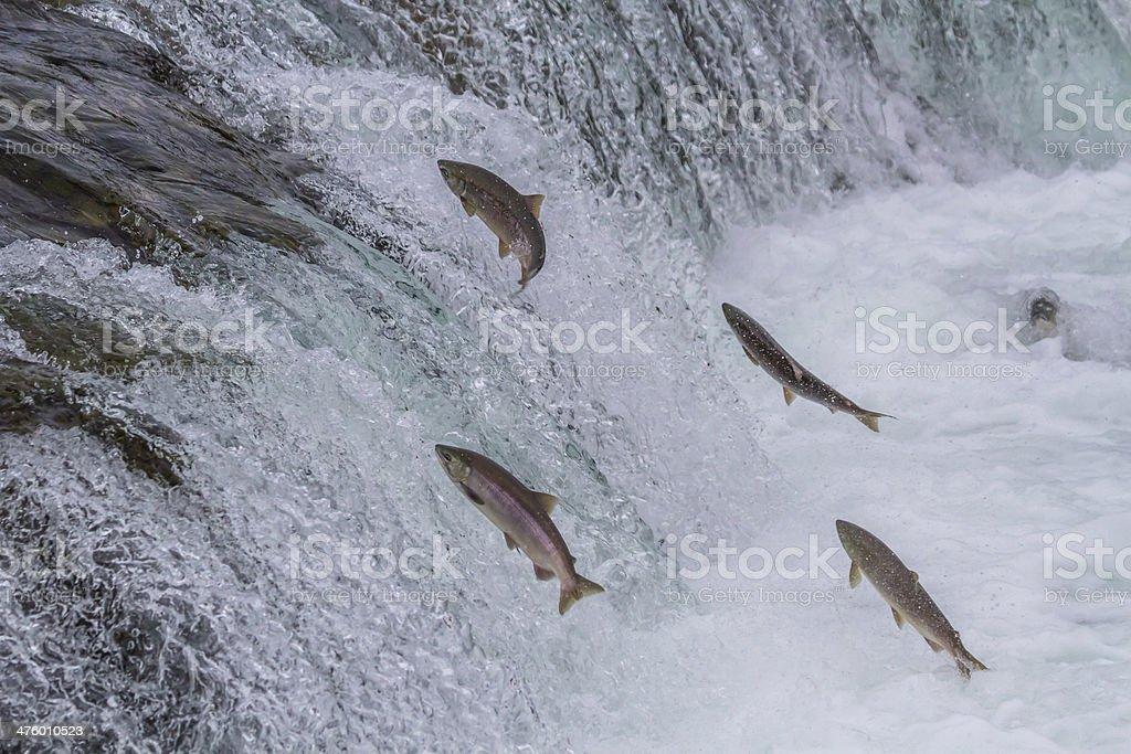 Sockeye Salmon Jumping Up Falls stock photo