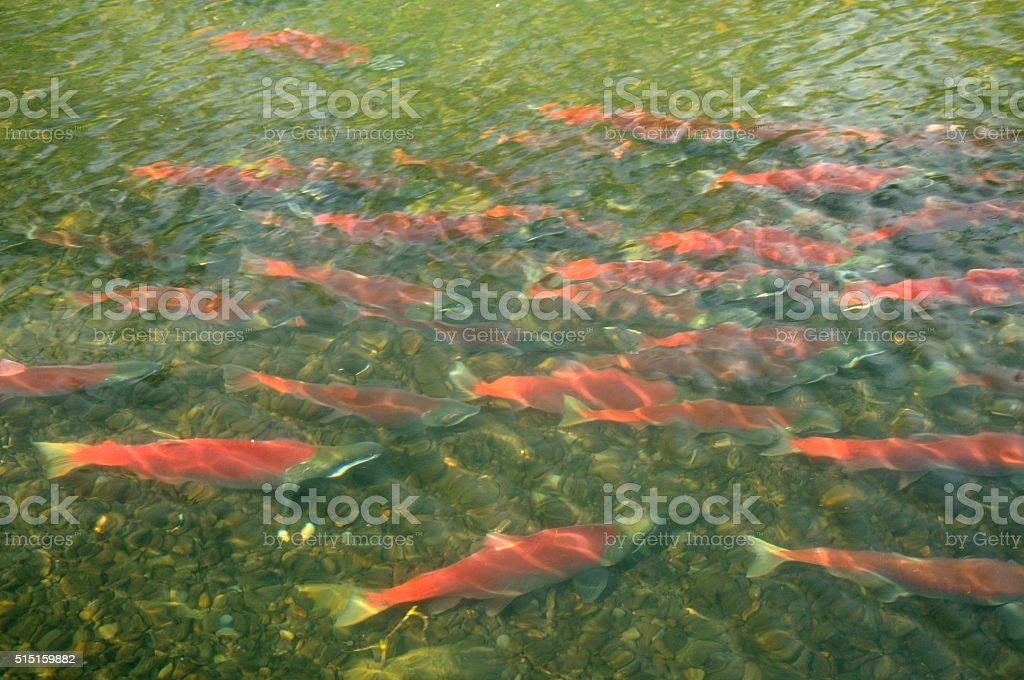 Sockeye Salmon stock photo