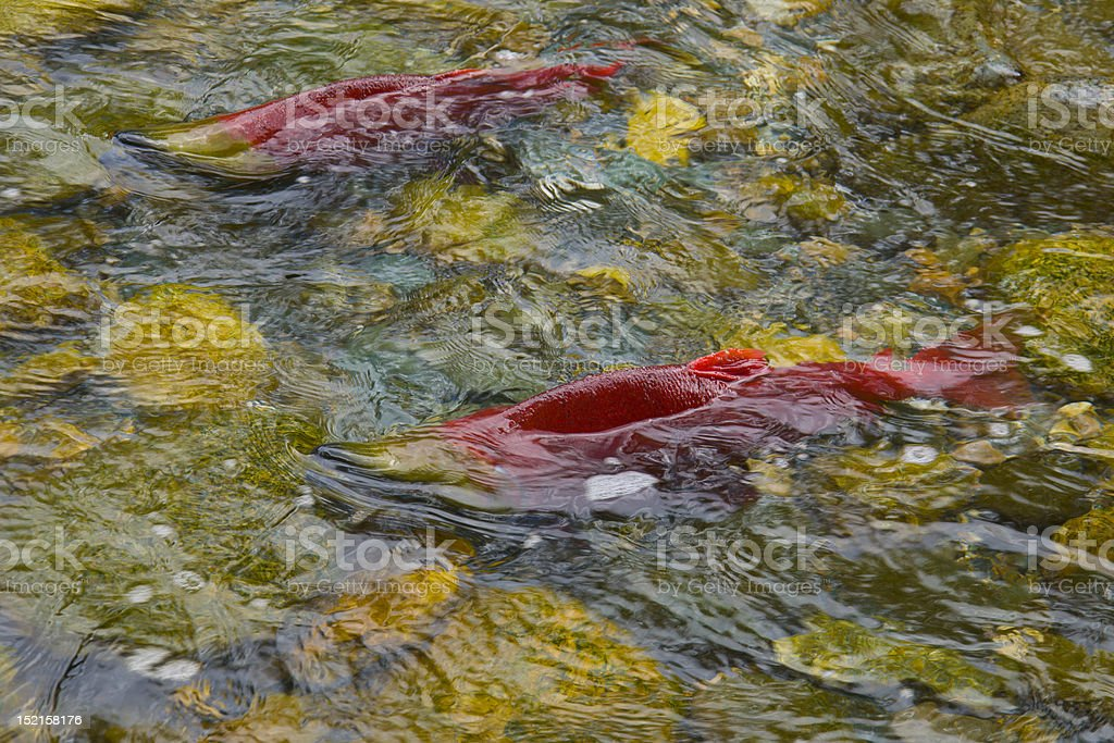 Sockeye Salmon spawning in a Canadian River royalty-free stock photo