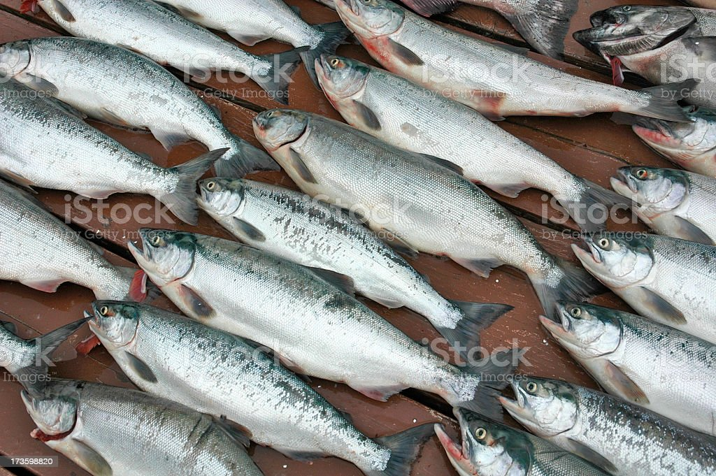 Sockeye Salmons royalty-free stock photo