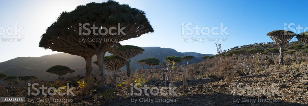 Socotra: the Dragon Blood trees forest in Dirhur, the protected area of Dixam Plateau in the center part of the island of Socotra, Unesco world heritage site since 2008 for its biodiversity stock photo