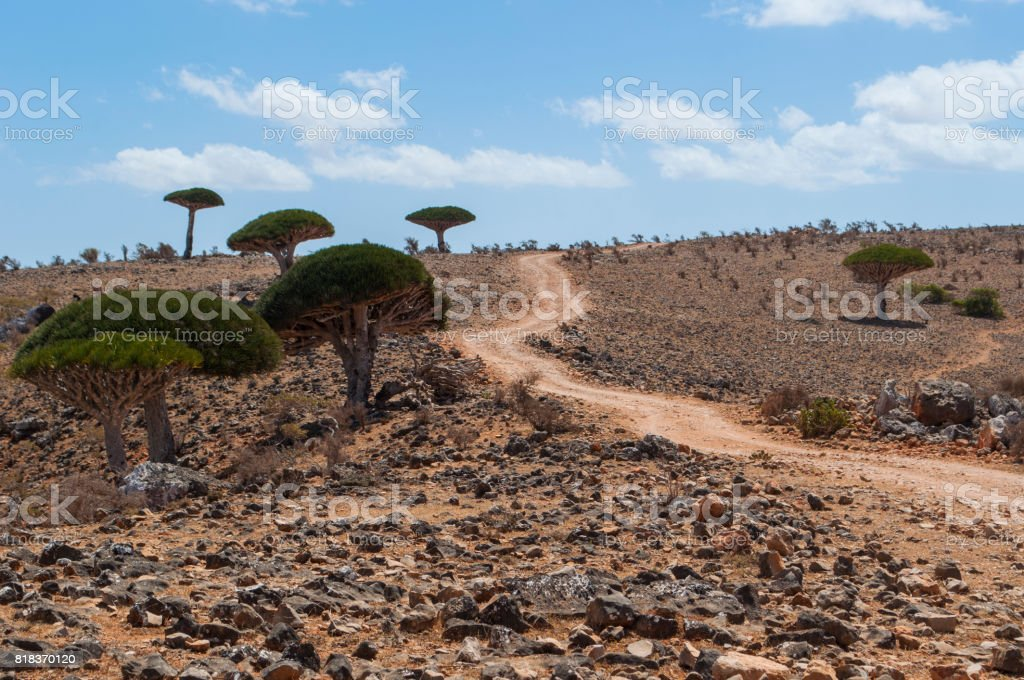 Socotra: the Dragon Blood trees forest in the canyon of Shibham, protected area of the Dixam Plateau in the center part of the island of Socotra, Unesco world heritage site since 2008 stock photo