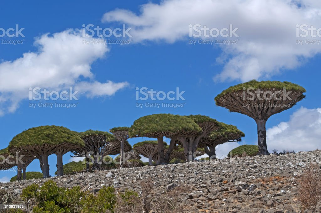 Socotra: the Dragon Blood trees forest in the canyon of Shibham, the protected area of the Dixam Plateau in the center part of the island of Socotra, Unesco world heritage site since 2008 for its biodiversity stock photo