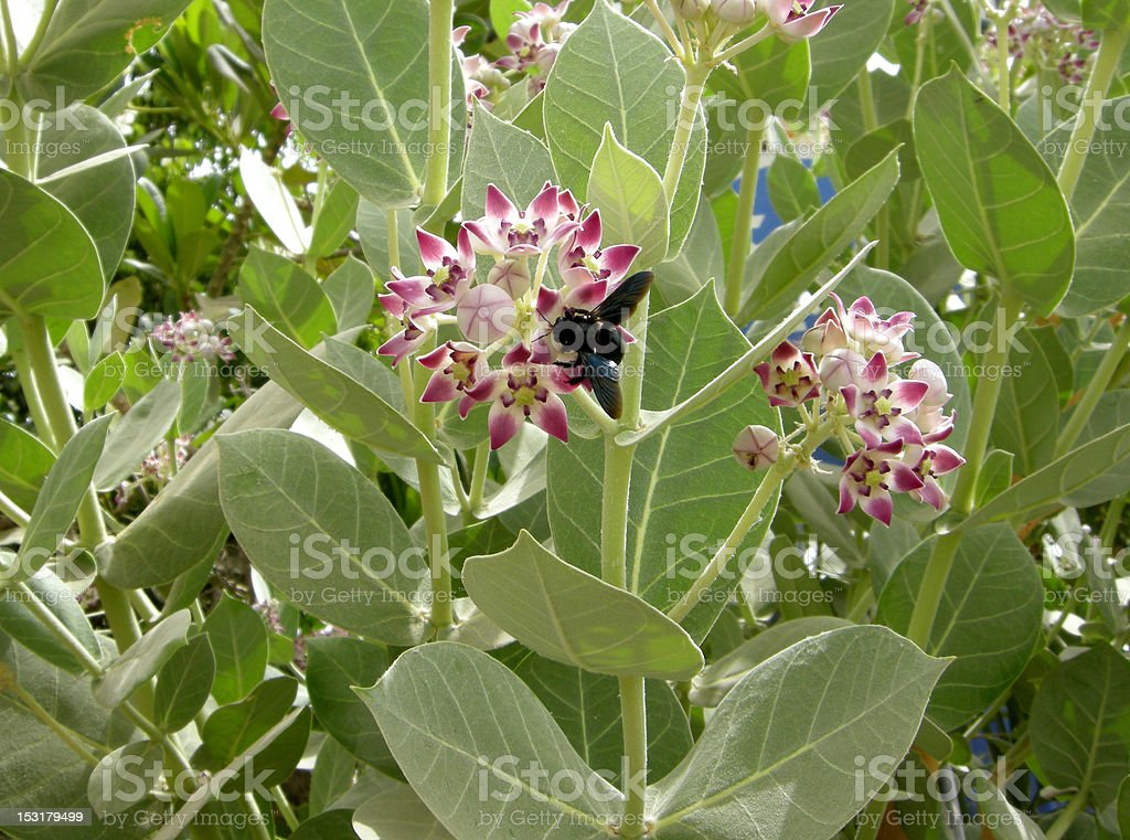 Sodom's Apple (Calotropis procera) stock photo